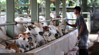 Pelaku industri ekspor sapi Australia khawatir dengan eskalasi krisis COVID di Indonesia. (ABC Rural: Lydia Burton)