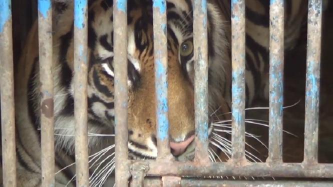 Harimau di kandang (Foto ilustrasi)