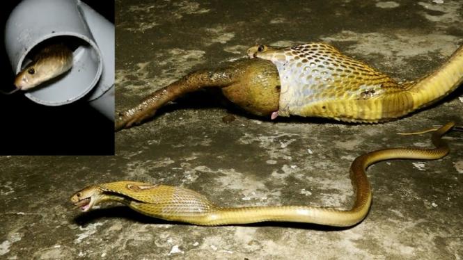 Ular kobra nyangkut di paralon.