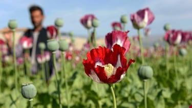 https://thumb.viva.co.id/media/frontend/thumbs3/2021/08/25/6125a72c5647c-afghanistan-berapa-banyak-produksi-opium-di-negara-itu-dan-bagaimana-dikaitkan-taliban_375_211.jpg