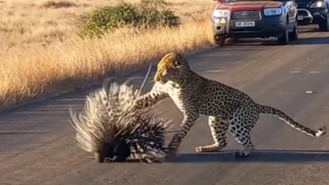 Macan tutul berburu landak.