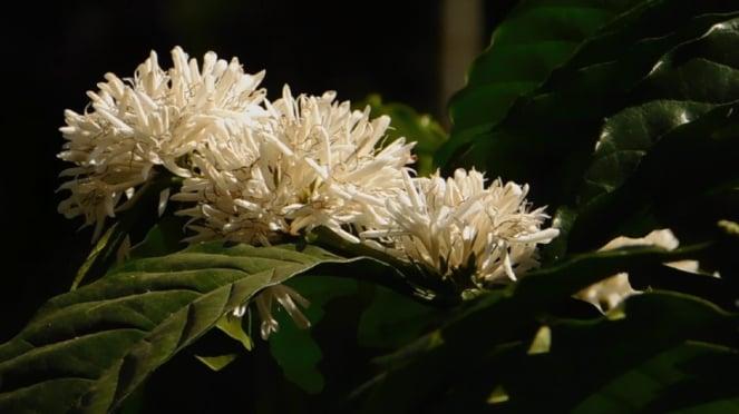 Bunga kopi yang harumnya semerbak di Dusun Sirap.
