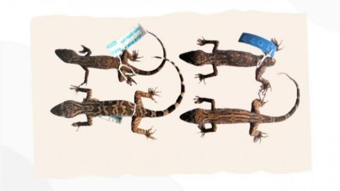 Cyrtodactylus hamidyi (Cecak Jarilengkung hamidy).