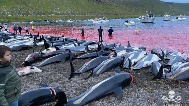 Lumba-lumba dibunuh di Kepulauan Faroe