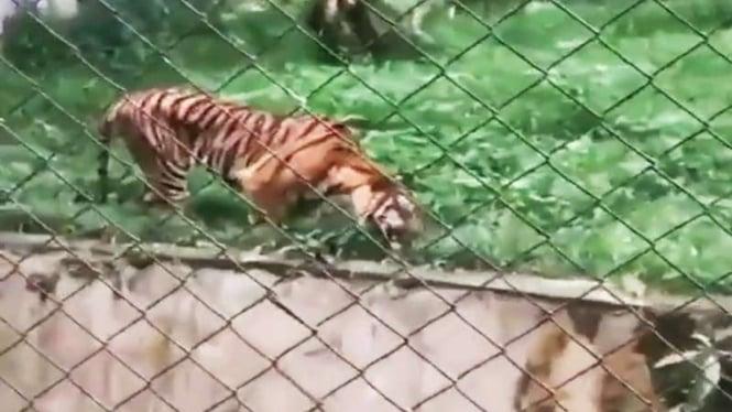 Viral harimau di kebun binatang Medan dalam keadaan kurus dan makan rumput