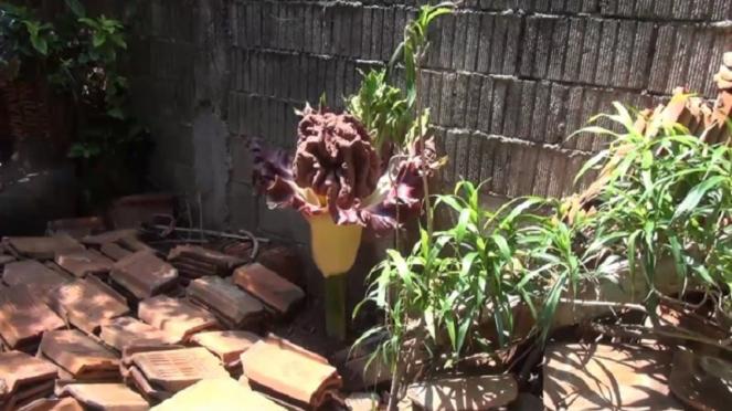 Bunga bangkai di rumah warga Jakarta Selatan