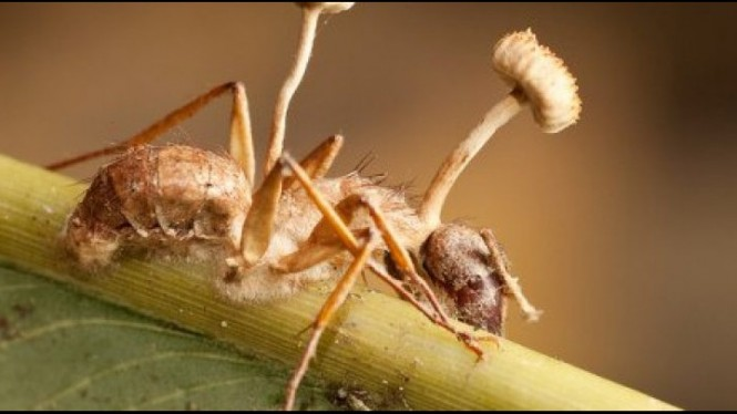 Jamur semut yang tumbuh di tubuh semut Amazon