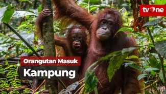 https://thumb.viva.co.id/media/frontend/vthumbs2/2019/03/08/orangutan_5c81f79d14ebe_viva_co_id_325_183.jpg